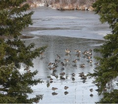 A Bookkeeper's Break - Geese on the ice in early November