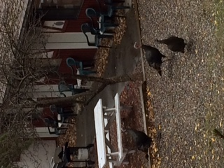 wild turkeys visit Radium