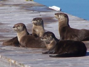 Otter enjoying the sun on a neighbour's dock at the lake.